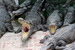 Kampuchean Crocodiles, Battambang