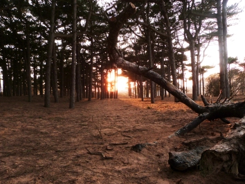 Pinewoods in the Sand, Formby