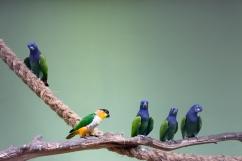 Parrots, Singapore