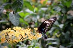 Raja Brookes Birdwing, Penang