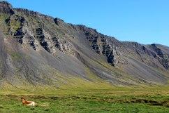 Icelandic Cow, Akranes