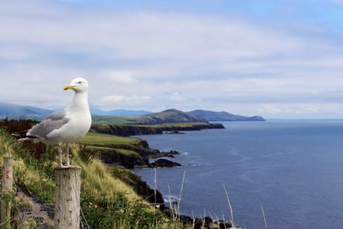 Herring gull, Dingle