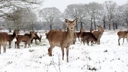 Richmond Park Deer in the Snow, London